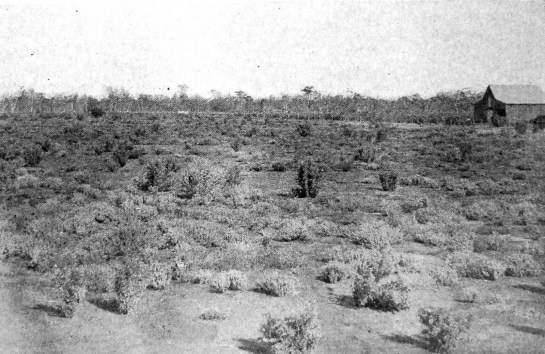 Peacock's trial plot of saltbush at the Coolabah Experiment Farm in 1904