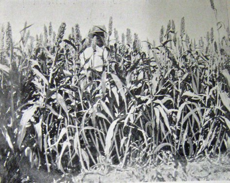Sorghum (called Kaffir Corn at the time).