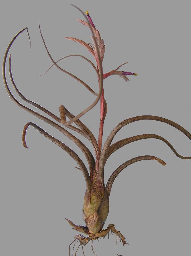 Bromeliads In Australia Tillandsia Pseudobaileyi