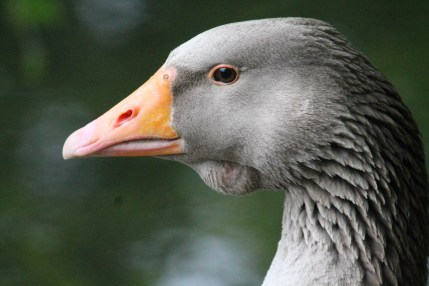 2-beauty-of-a-goose