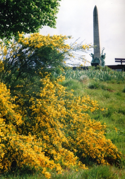 yellow broom flowers with war memorial behind