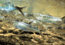 Bronx River Alliance Releases Hundreds of Herring into the Bronx River