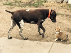 Siggy meets Chevy, our German Shorthair Pointer