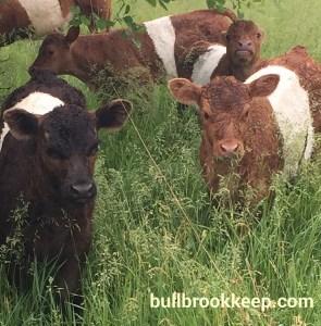 A few 2016 calves