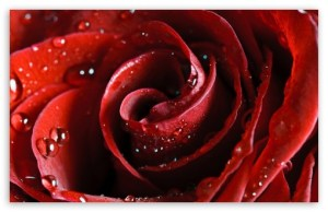 beautiful_scarlet_rose-t2