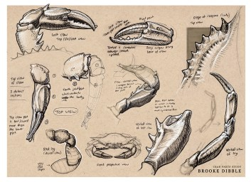 Brooke Dibble – crab sketches