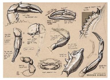 Brooke Dibble – crab sketches