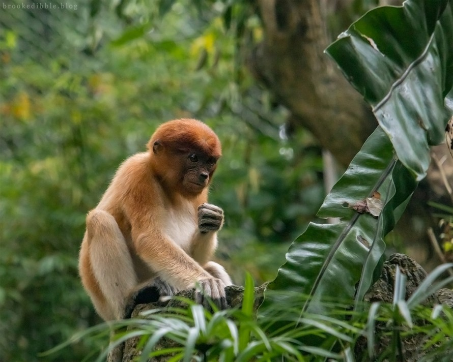 Proboscis monkey - Singapore Zoo - Nov 2018