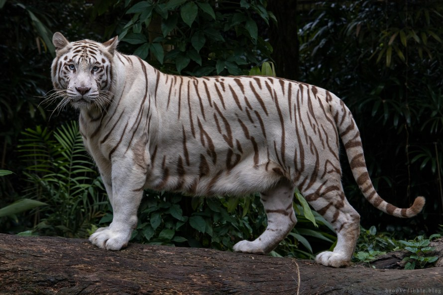 White bengal tiger | Singapore Zoo | Nov 2018
