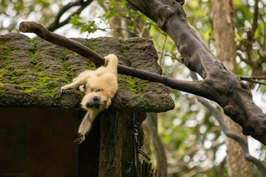 Baby howler monkey | Singapore Zoo | Nov 2018