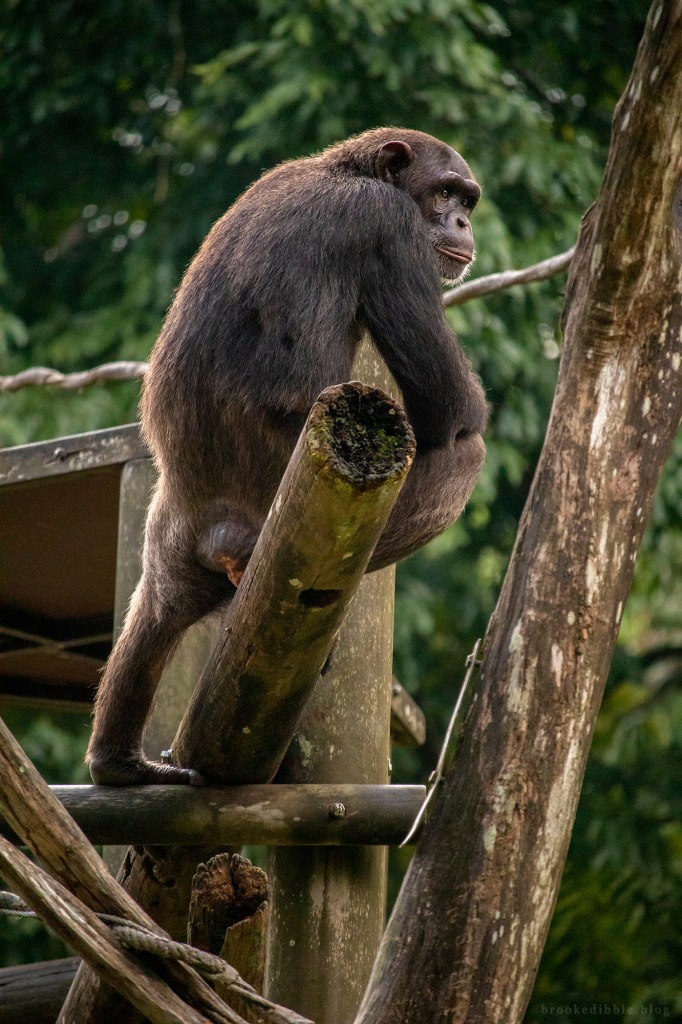 Chimpanzee | Singapore Zoo | Nov 2018