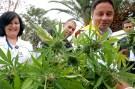 cannabis_harvest001