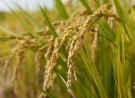 rice_field001