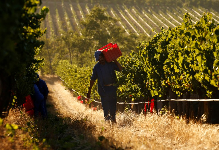Workers harvest grapes at the La Motte wine farm in Franschhoek near Cape Town, South Africa in this picture taken January 29, 2016. REUTERS/Mike Hutchings - RTSFW5R