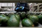 Employees remove stalks from avocados in the Global Fruit Packing Company in Uruapan, in Michoacan state, Mexico, January 31, 2017. Picture taken January 31, 2017.REUTERS/Carlos Jasso - RTX2ZE4H