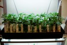 Clones of medicinal marijuana plants are pictured at Los Angeles Patients & Caregivers Group dispensary in West Hollywood