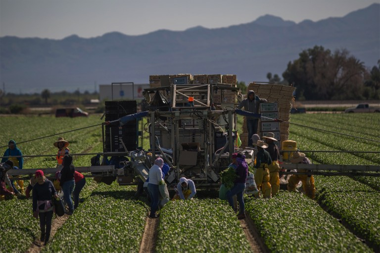 Immigrant farm workers harvest spinach near Coachella, California. Getty Images