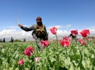 DATE IMPORTED:April 04, 2017An Afghan policeman destroys poppies during a campaign against narcotics in Jalalabad province, Afghanistan, April 4, 2017. REUTERS/Parwiz TPX IMAGES OF THE DAY