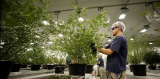 A worker collects cuttings from a marijuana plant at the Canopy Growth Corporation facility.
