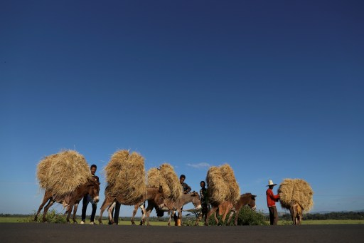 """Farmers transport teff from their farm in the town of Woliso, Oromia region, Ethiopia, October 22, 2018. REUTERS/Tiksa Negeri  SEARCH """"ETHIOPIA OROMOS"""" FOR THIS STORY. SEARCH """"WIDER IMAGE"""" FOR ALL STORIES. TPX IMAGES OF THE DAY - RC1FD5352200"""