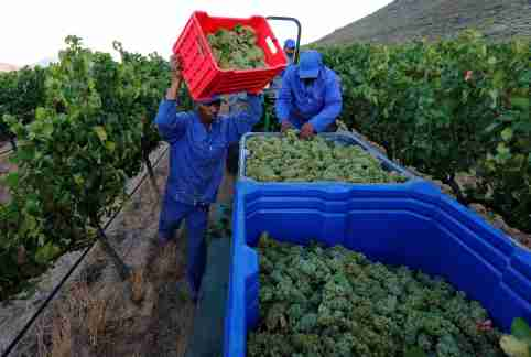 Workers harvest grapes at the La Motte wine farm in Franschhoek near Cape Town, South Africa in this picture taken January 29, 2016. REUTERS/Mike Hutchings - D1AETGCGWLAA