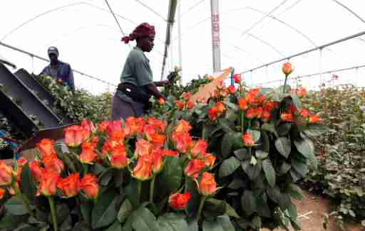 Workers harvest roses for export to the European market inside a greenhouse at Maridadi Flowers Limited in Naivasha, 90 km (56 miles) west of Kenya's capital Nairobi, April 19, 2010. Kenya's horticulture industry has already lost $12 million to the volcano-induced European airspace closure and it will take several weeks to recover even if flights resume now, its association of exporters said on Monday. REUTERS/Thomas Mukoya (KENYA - Tags: TRANSPORT SOCIETY EMPLOYMENT BUSINESS) - GM1E64J1SUF01