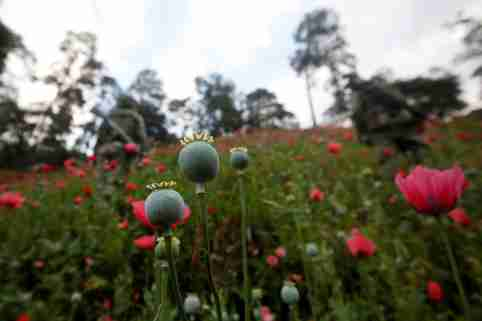 Opium poppies are pictured in the fields of Pueblo Viejo in the Sierra Madre del Sur in the southern state of Guerrero, Mexico, August 25, 2018. REUTERS/Carlos Jasso