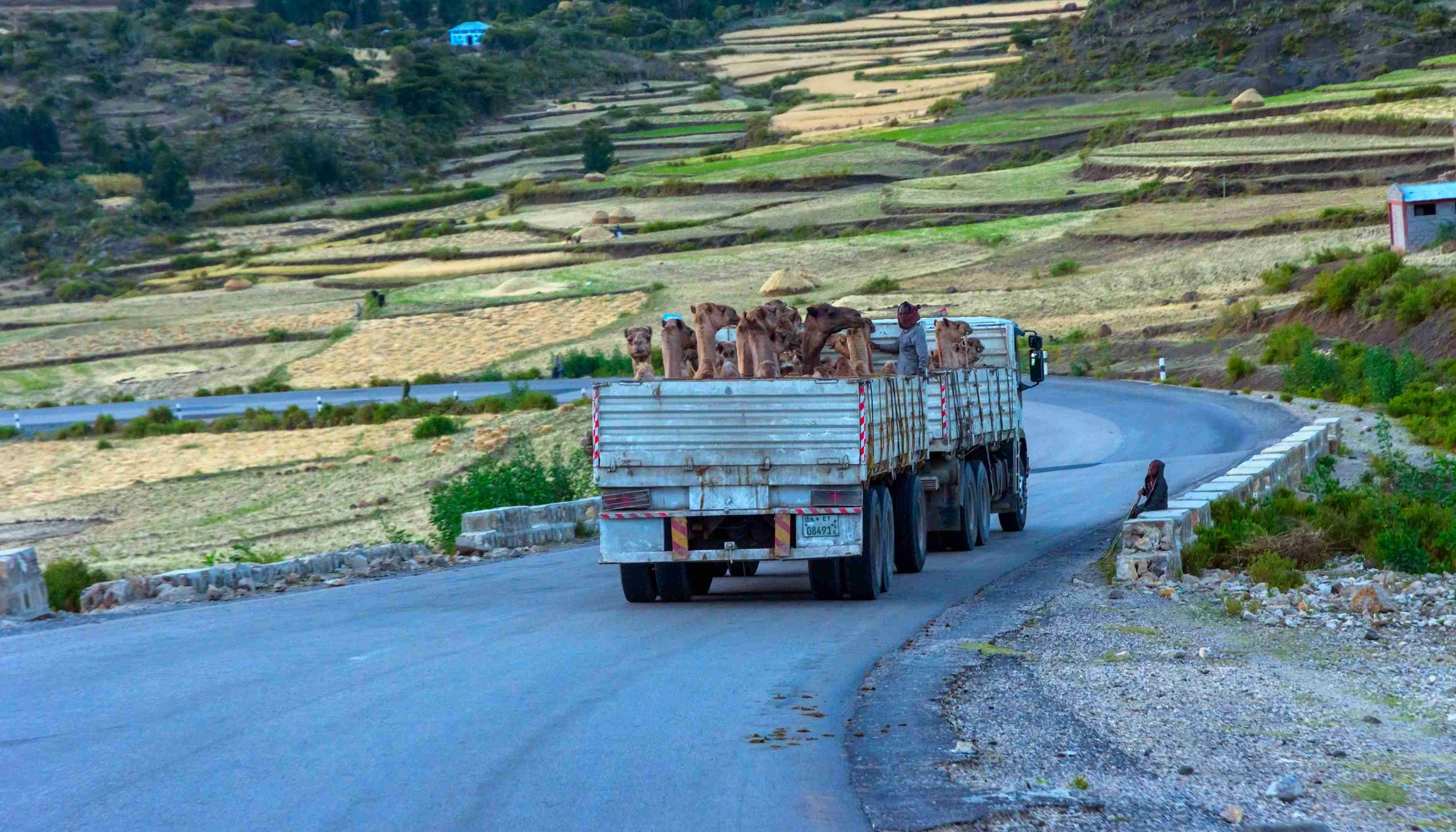 Mekele, Ethiopia - Nov 2018: Truck full of camels to be transported on the road in Ethiopian countryside