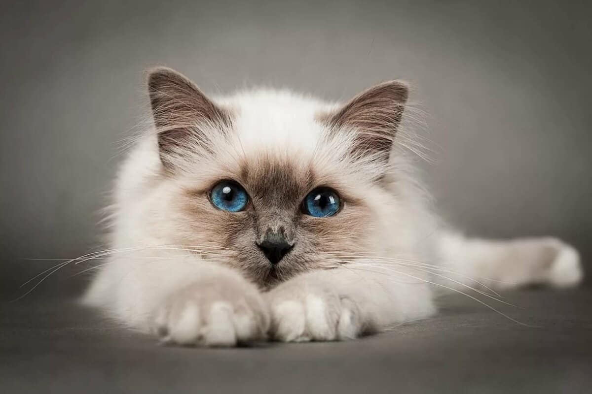 ما حكم بيع القطط بالدين الإسلامي مجلة البرونزية