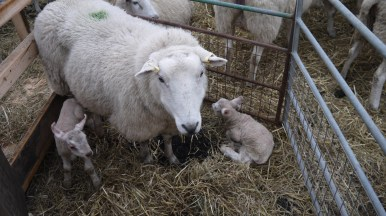 Sheep with new born lamb