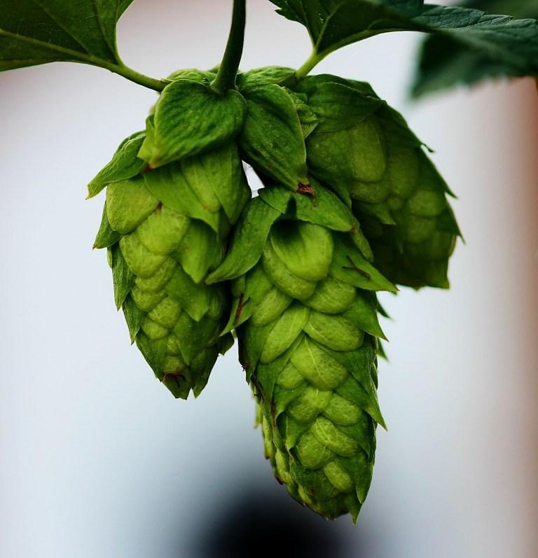 hops, buds, beer