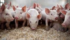 cerdos productor rural
