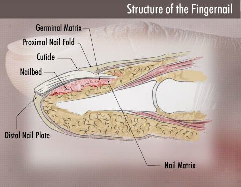 Structure of your fingernail: the nail matrix attaches the finger with the nail plate.