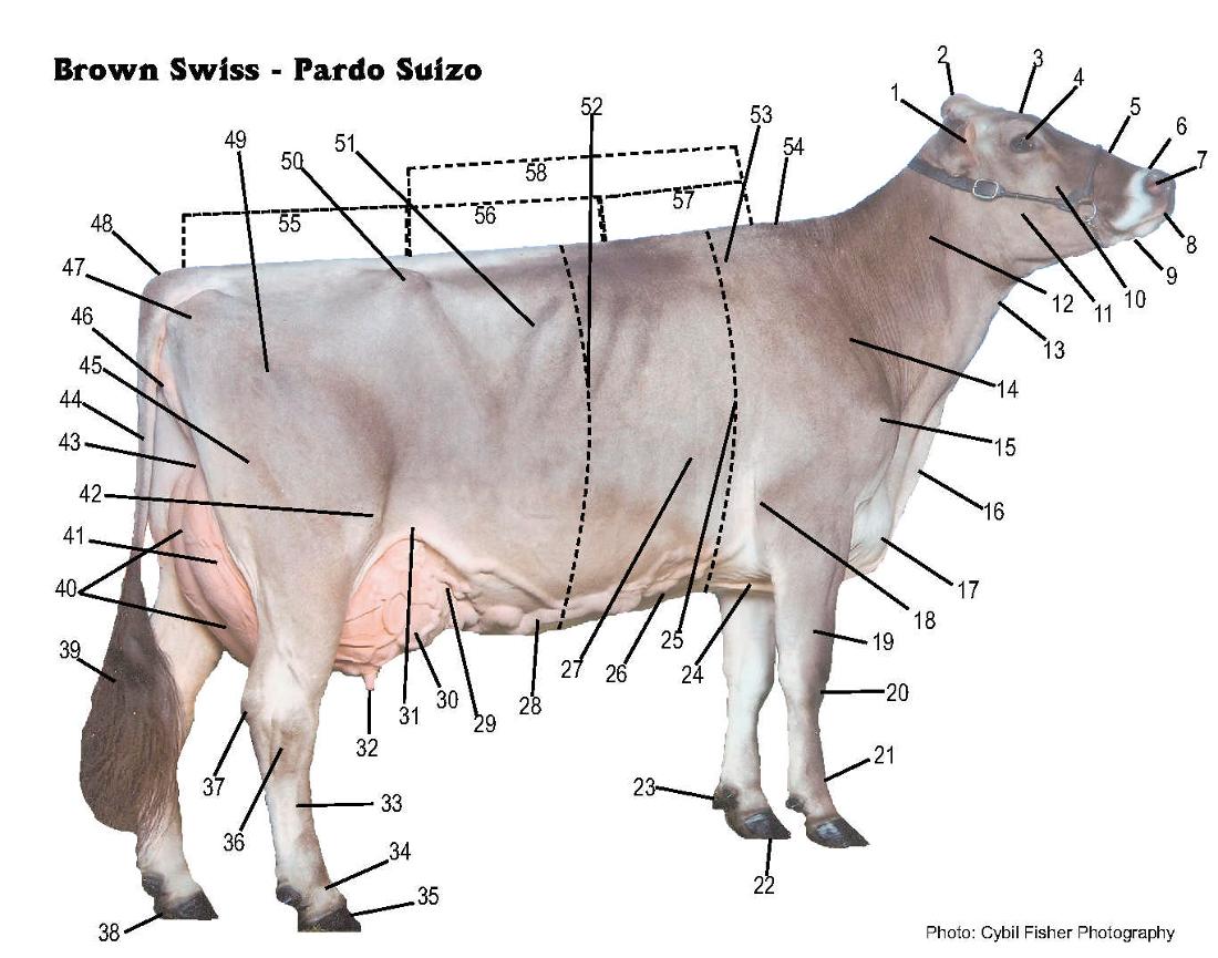 Diagram Of Beef Brisket