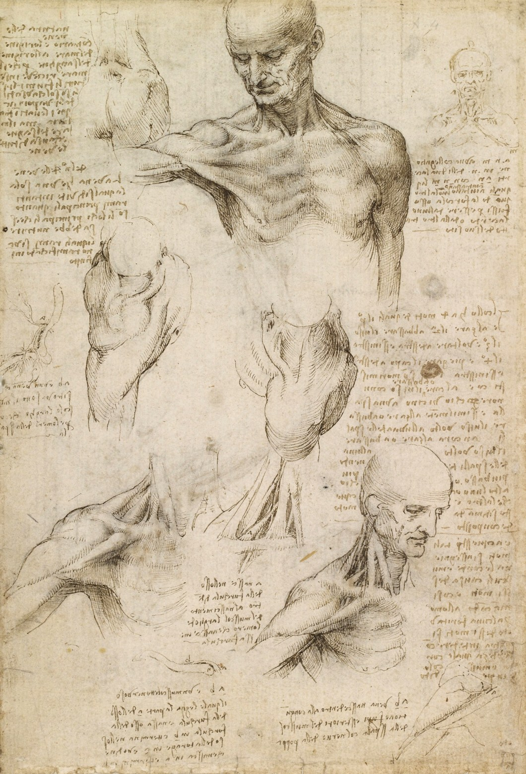Da Vinci's Anatomical Sketch of a Male Shoulder