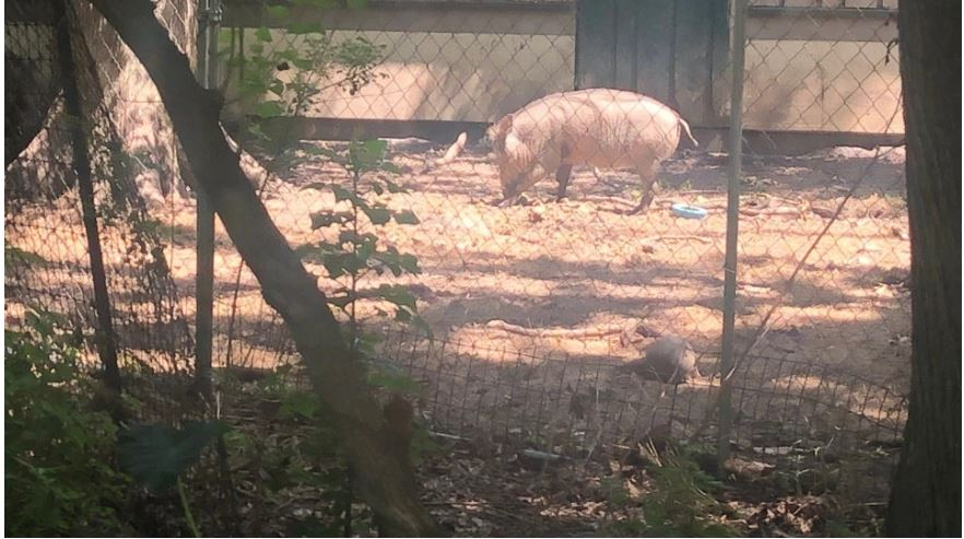Zoo worker attacked by warthog at Louisiana Purchase Gardens & Zoo