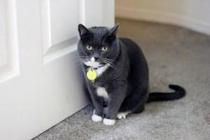 domestic kitty animal