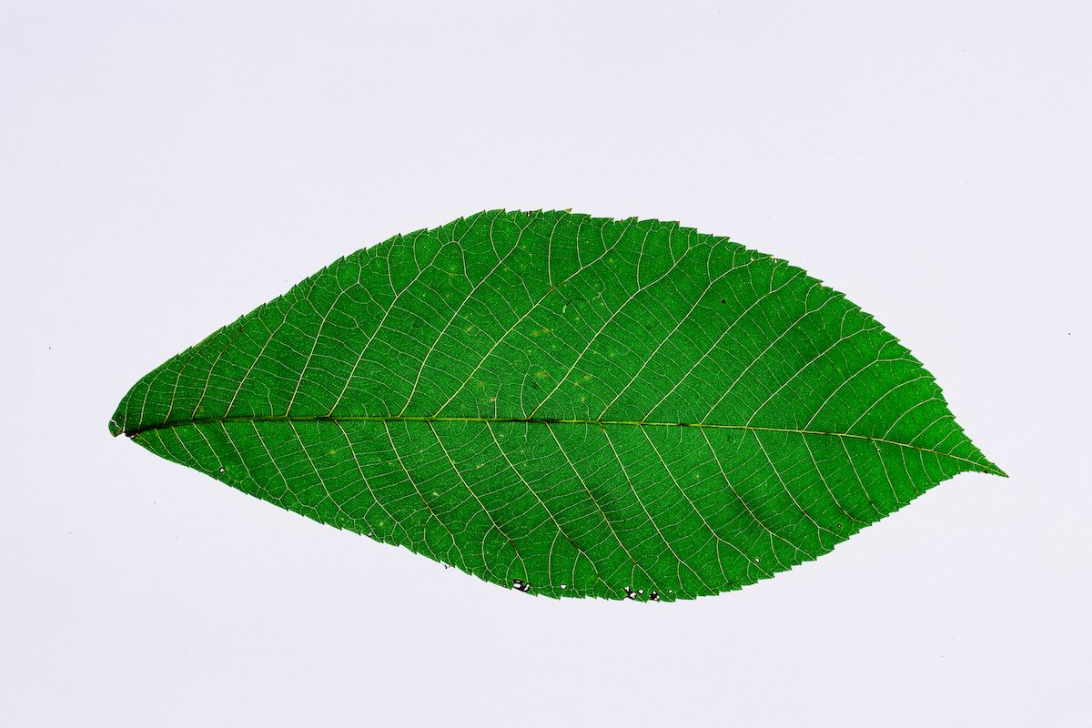 A simple green, striated leaf on a white background