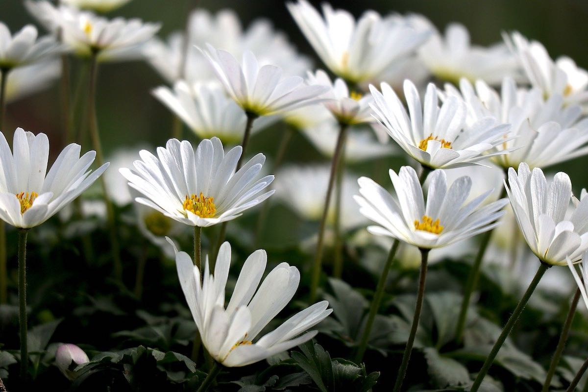white flowers with yellow centres symbolize simplicity and success