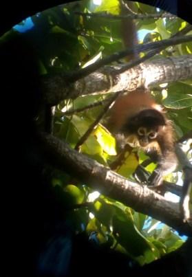 Klammeraffe Costa Rica Caminos de Osa