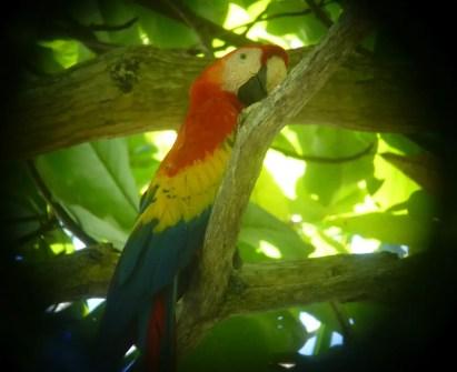 Roter Ara Corcovado Nationalpark Costa Rica