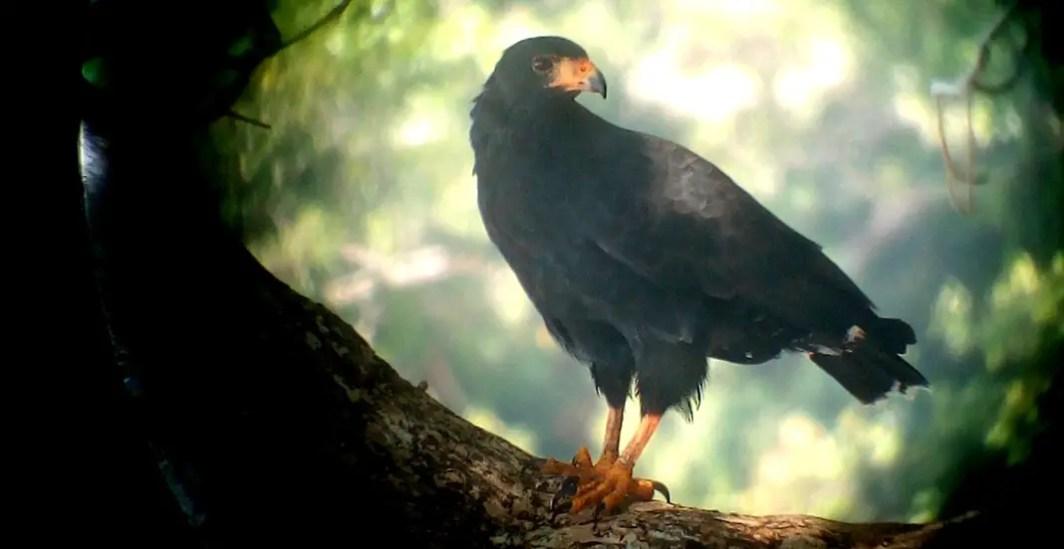 Schwarzer Mangrovenfalke Costa Rica Corcovado Nationalpark