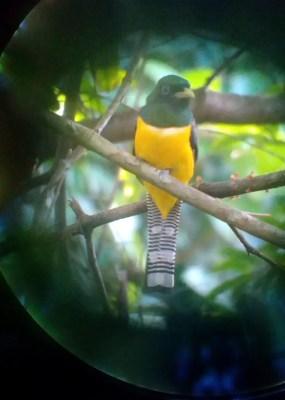 Veilchentrogon Corcovado Nationalpark Costa Rica