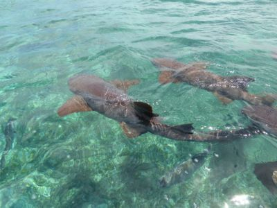 Nurse Sharks Caye Caulker