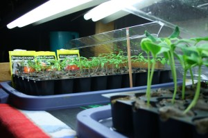 seedlings on heat mat