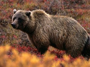 Grizzly bear in forest from National Geographic