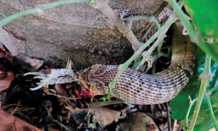 Kukri snake feeding habit