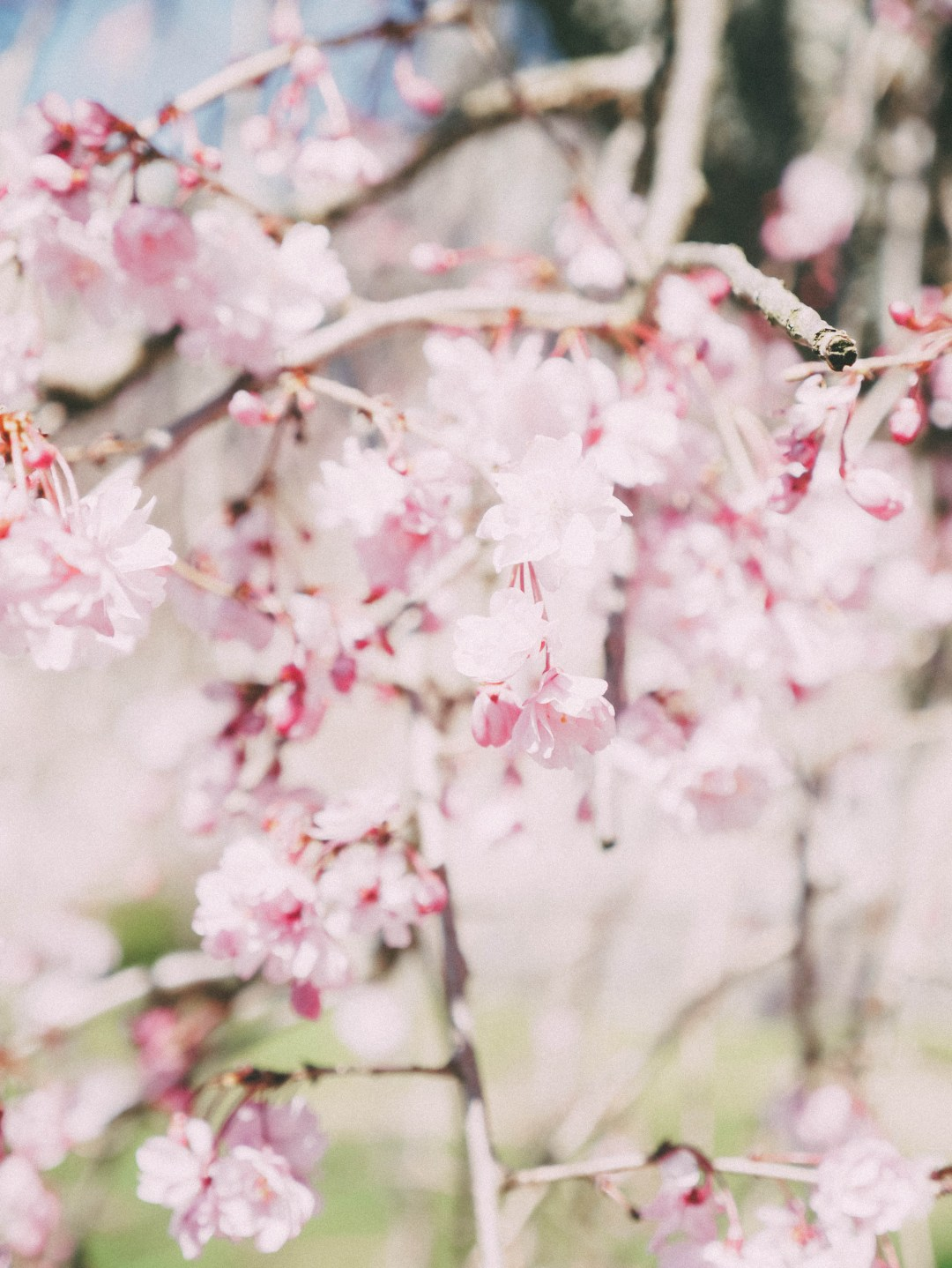 cherry blossoms - april in review | brunch at audrey's