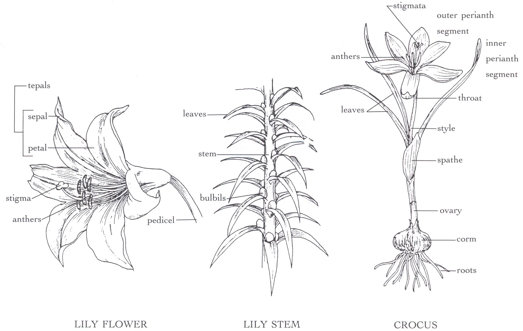 Parts Of A Carnation Flower C Cp