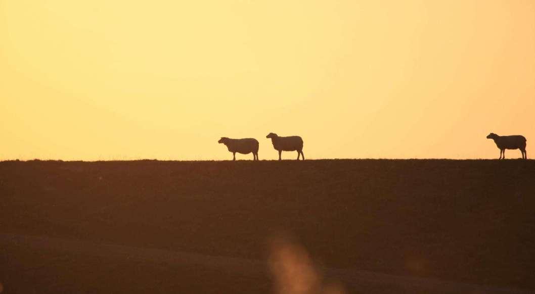 Follow Jesus sheep at sunset